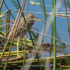 Black-crowned Night-Heron (youngster)