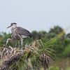 Great Blue Herons (youngsters)