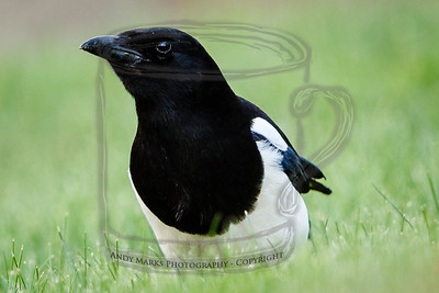 "Black billed magpie, taking ""Hunting Worms Like a Robin"" final"