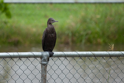 Neighbourhood Birds in Brisbane, Queensland, Australia. Photos by Des Thureson - http://disci.smugmug.com