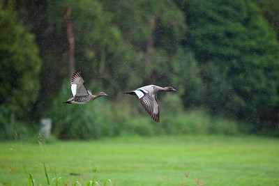 Possibly two Australian Wood Ducks (Chenonetta jubata) in flight (Female on left, male on right), at the start of Brisbane's 2010-2011 heavy flood season; Newmarket, Brisbane, Queensland, Australia. Photos by Des Thureson - http://disci.smugmug.com