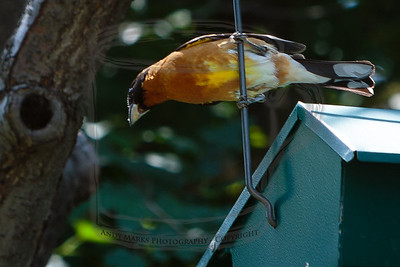 Black-headed Grosbeak, keeping an eye on junior..