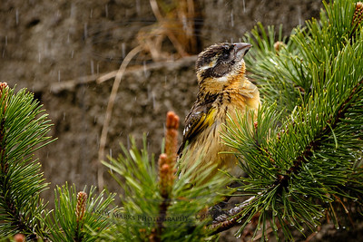 Black-headed Grosbeak (female) enjoying a shower.