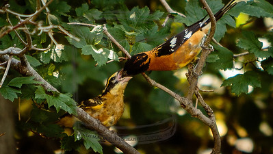 Black-headed Grosbeak feeding his young