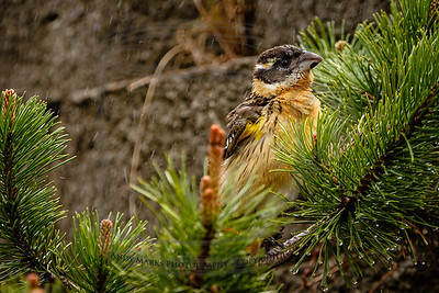 black-headed grosbeak, female
