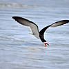Black Skimmer<br /> Canova Beach, Florida<br /> 046-3684a