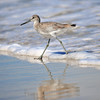 Willet<br /> Canova Beach, Florida<br /> 069-9509a