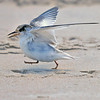 Tern Chick<br /> Canova Beach, Florida<br /> 057-7899a