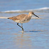 Willet<br /> Canova Beach, Florida<br /> 069-9555a