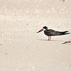 Black Skimmers<br /> Canova Beach, Florida<br /> 056-7609a