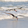 Black Skimmers<br /> Canova Beach, Florida<br /> 057-7977a