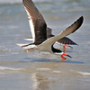 Black Skimmers<br /> Canova Beach, Florida<br /> 057-7860a
