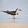 Black Skimmer<br /> Canova Beach, Florida<br /> 057-7826a