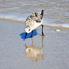 Sanderling<br /> Canova Beach, Florida<br /> 069-9692a