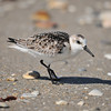 Sanderling<br /> Canova Beach, Florida<br /> 069-9494a