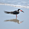Black Skimmer<br /> Canova Beach, Florida<br /> 056-7433a