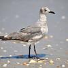 Seagull<br /> Canova Beach, Florida<br /> 057-7934a