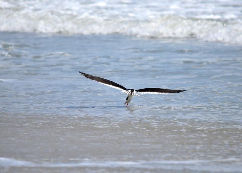 Black Skimmer<br /> Canova Beach, Florida<br /> 046-3689a