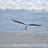 Black Skimmer<br /> Canova Beach, Florida<br /> 046-3689a
