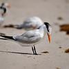 Tern<br /> Canova Beach, Florida<br /> 046-3664a