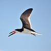 Black Skimmer<br /> Canova Beach, Florida<br /> 056-7559a
