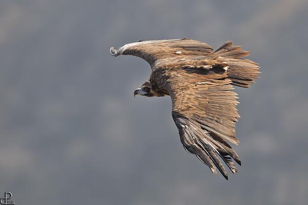Black Vultures - עוזניות
