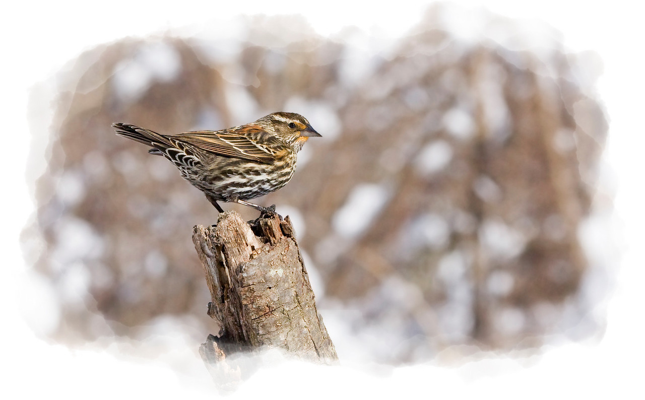 Female Red Wing Blackbird in Snow