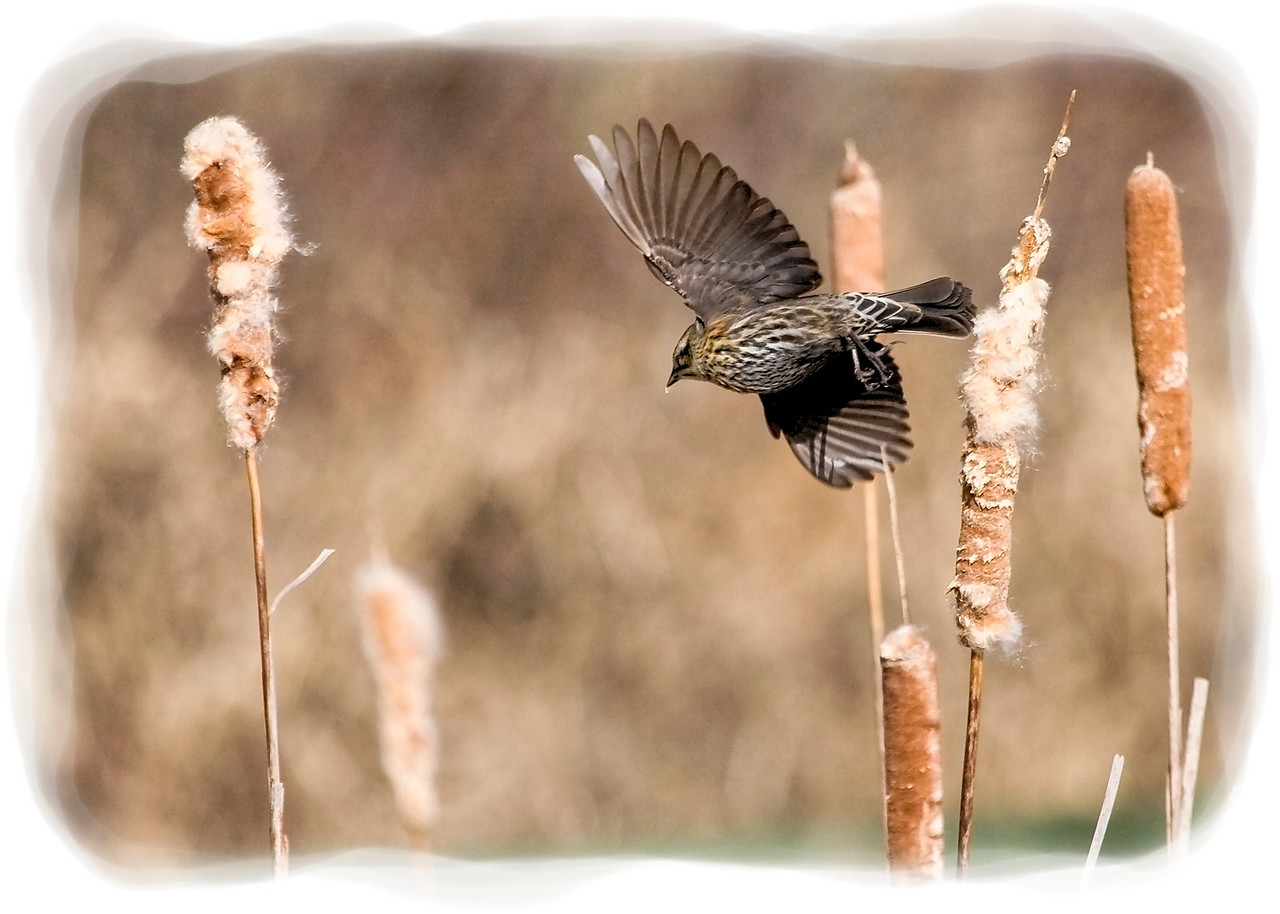 Female Red Winged Blackbird on the Wing