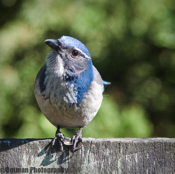 Blue Jay-7654.jpg