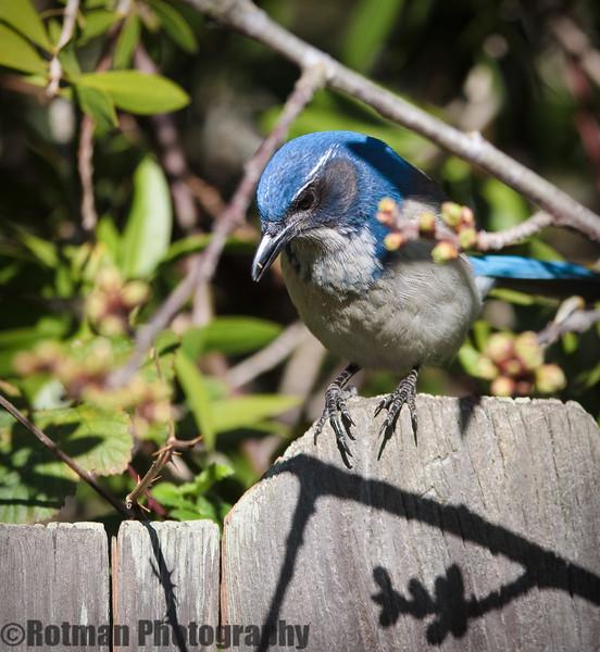 Blue Jay-7610.jpg