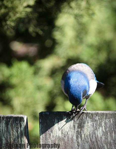 Blue Jay-7658.jpg