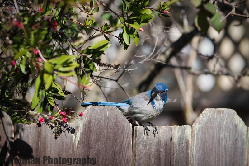 Blue Jay-7603.jpg