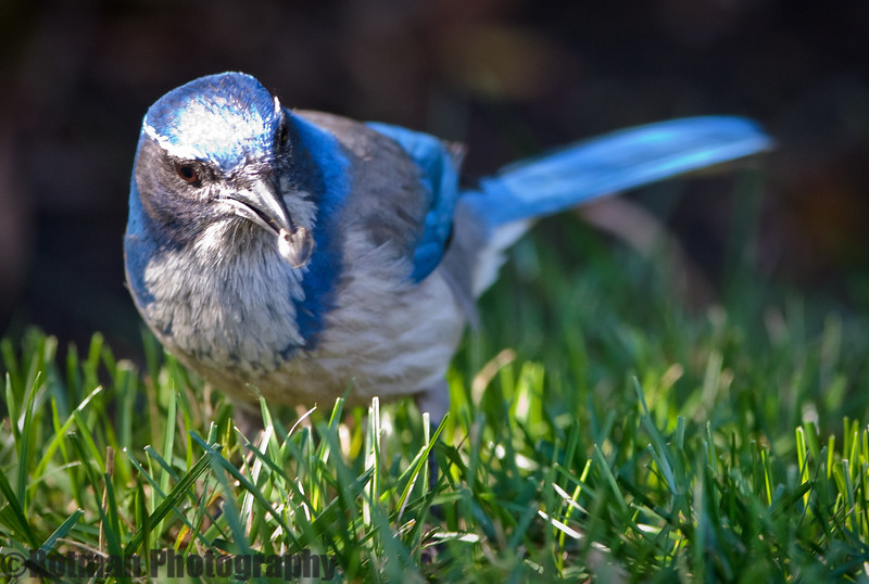 Blue Jay-7650.jpg