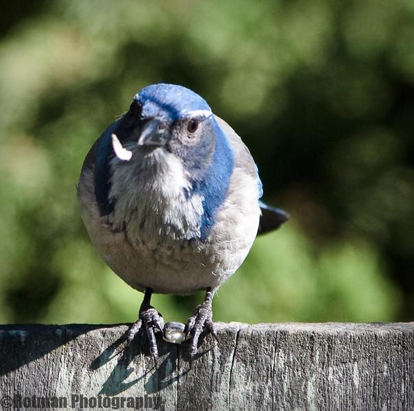 Blue Jay-7656.jpg