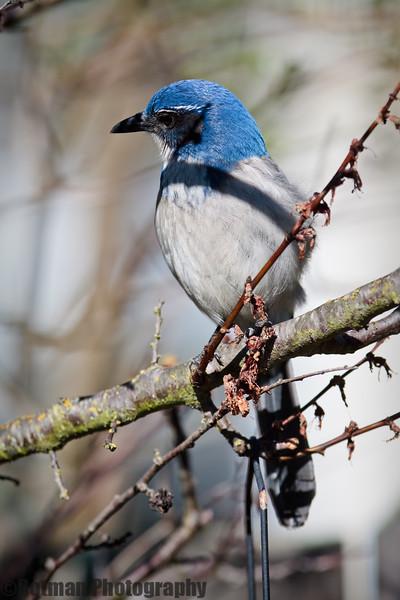 Blue Jay-7630.jpg