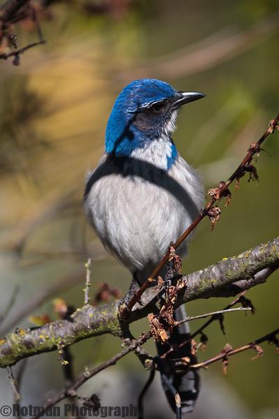 Blue Jay-7636.jpg
