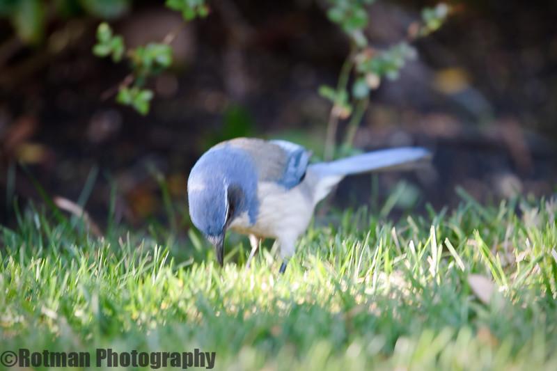 Blue Jay-7640.jpg