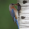 Female Eastern Bluebird feedin' the youngins'