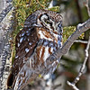 Boreal Owl #1 at Two Harbors MN - 2/13/13<br /> near Stoney Point Rd on Scenic Highway 61- 1st of 2 Boreal Owls 800 feet apart on the highway