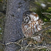 Boreal Owl #2 at Two Harbors MN - 2/13/13<br /> near Stoney Point Rd on Scenic Highway 61