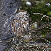 Boreal Owl #2 at Two Harbors MN - 2/13/13<br /> near Stoney Point Rd on Scenic Highway 61 just 800 feet down the road from Owl #1