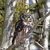 Boreal Owl #1 at Two Harbors MN - 2/13/13<br /> near Stoney Point Rd on Scenic Highway 61