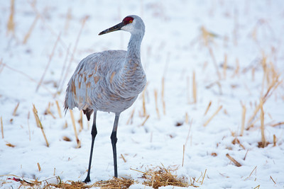 Sandhill Crane on Snow