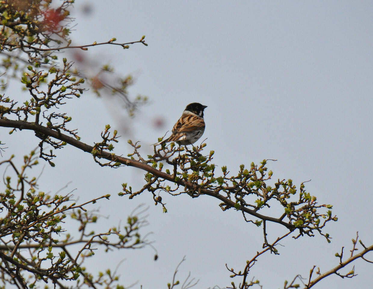 Reed Bunting Tring March 2011