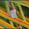 Male Anna's hummingbird (fr: colibri d'Anna, lat: calypte anna).