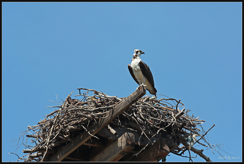 Osprey or sea hawk (fr: balbuzard pêcheur, lat: pandion haliaetus)