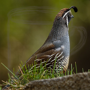 California Quail (male). They're so cool looking.