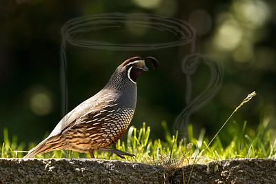 Male  California Quail: 7July10  (lighten throat shadows, darken back highlights, lighten overall masking bright grass blades and terrace edge)