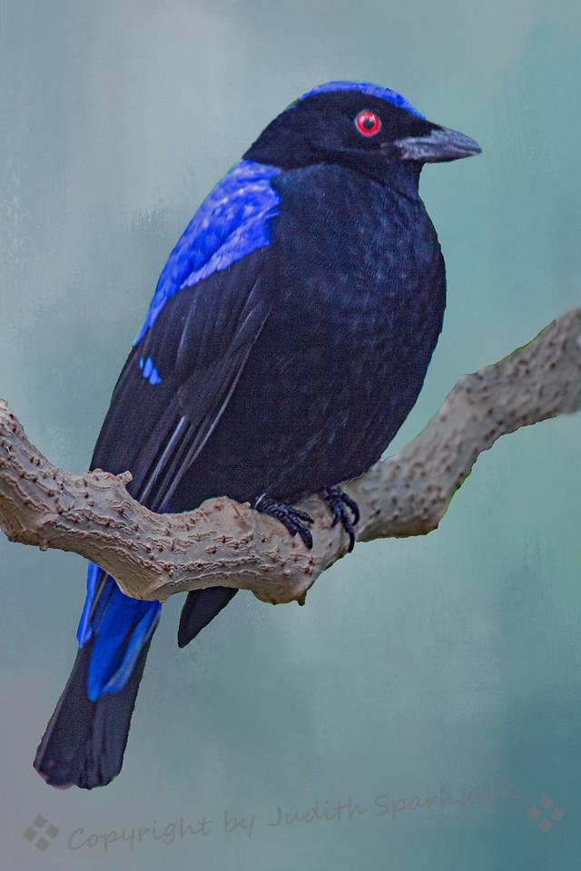 Fairy-Bluebird