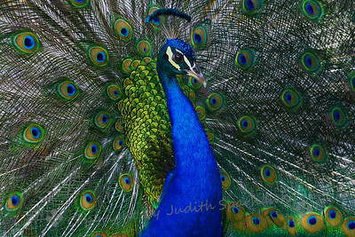 Pride of the Peacock ~ This peacock generously posed for me for this shot.  He was one of the many peacocks at the Los Angeles Arboretum near Pasadena, California.  The birds just have to be photographed!